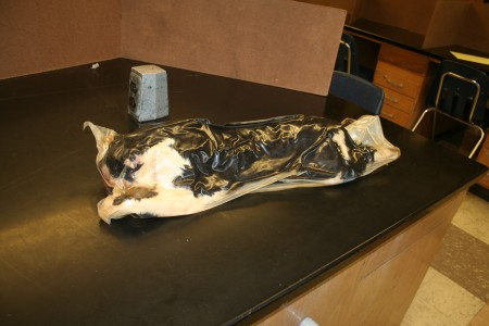A formaldehyde-soaked cat awaits dissection from a CHS biology student.