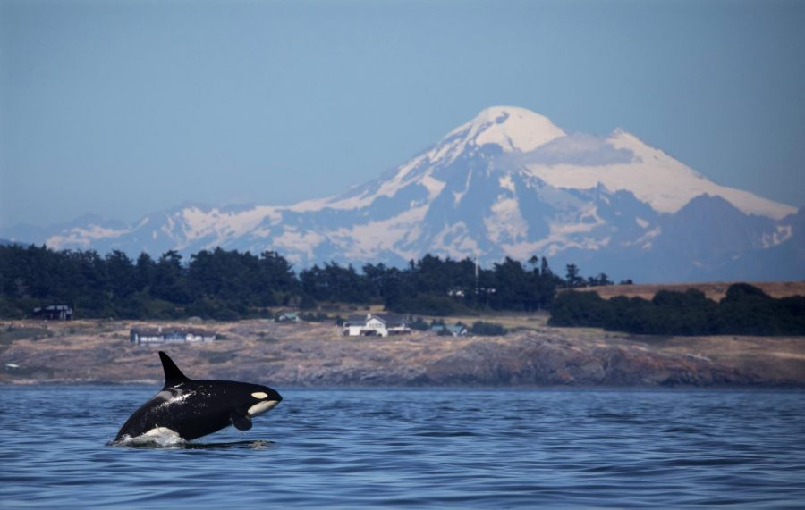A+southern+resident+killer+whale+breaches+in+Haro+Strait+just+off+San+Juan+Island%27s+west+side+with+Mt.+Baker+in+the+backround.