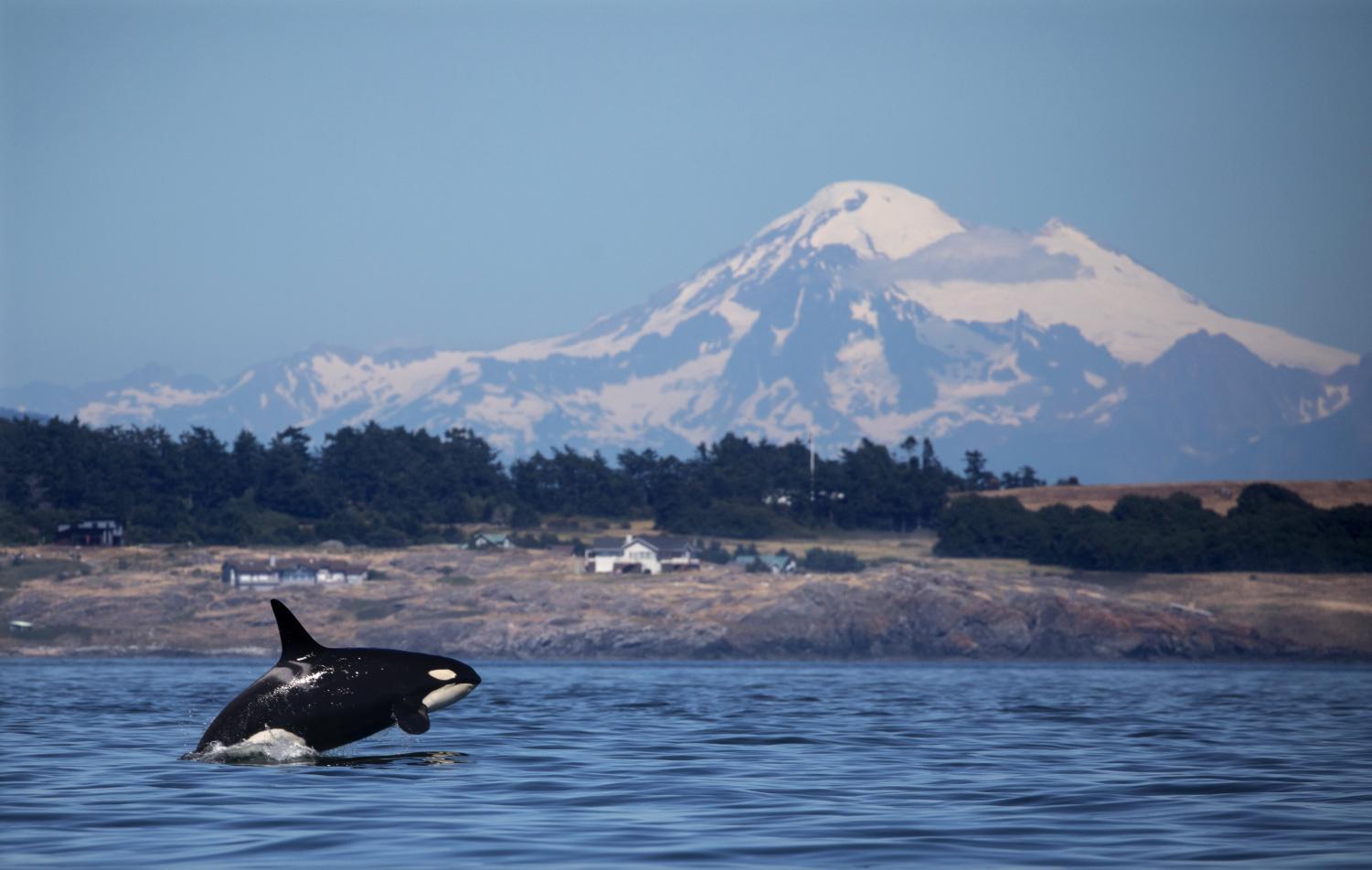 A southern resident killer whale breaches in Haro Strait just off San Juan Island's west side with Mt. Baker in the backround.