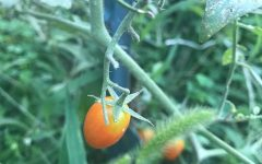 A tomato in the Farmhaus garden
