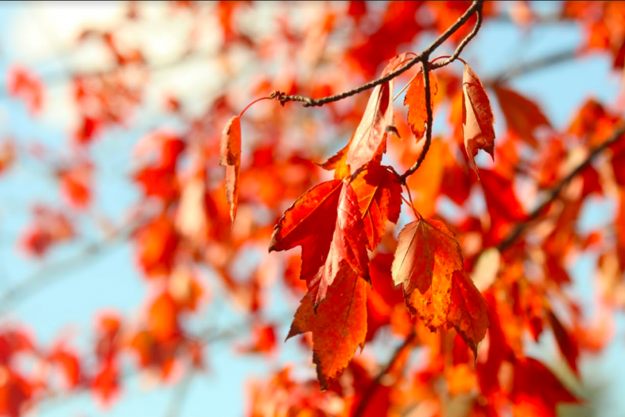 A crisp red fall leaf hangs from a tree full of bold leaves.